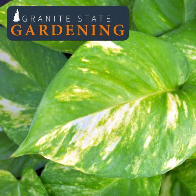 Foliage Houseplants, Fertilizing, Cleaning Leaves, Aphids & ZZ Plant
