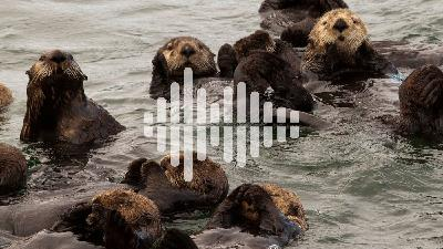 The facts on COVID-19 contact tracing apps, and benefits of returning sea otters to the wild