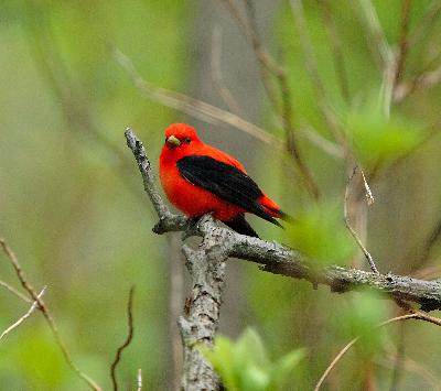 Episode 5: Scarlet Tanager and the End of the Season