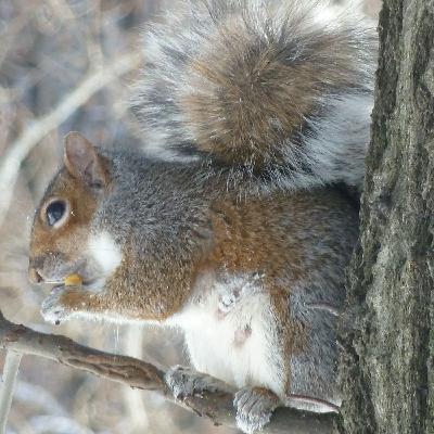 Un censo de ardillas para Central Park