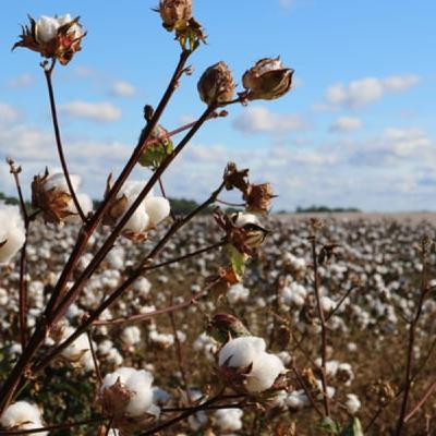 Nov 11  The Cotton Must Be Picked
