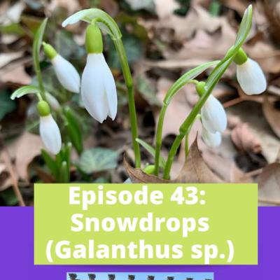 Episode 43 - Galanthus with David L. Culp