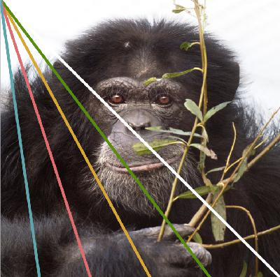 Chimpanzees. The fate of our closest cousin. Interview with David van Gennep, AAP.