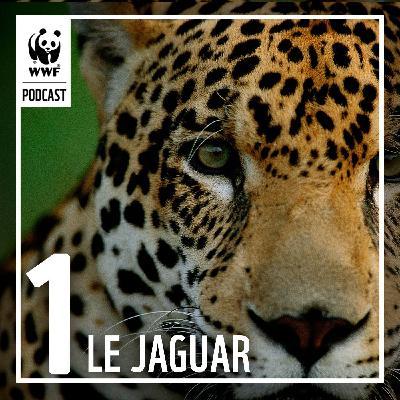 À la rencontre du jaguar en Guyane