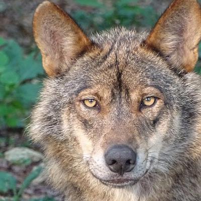 La Ciudad Secreta 75 – Vivir con lobos