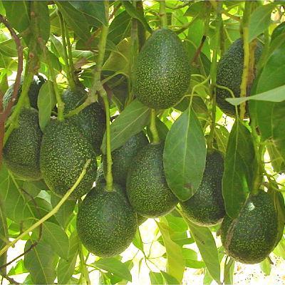 059 Avocado Basics on Fabulous Fruit Friday! Battling Spider Mites.
