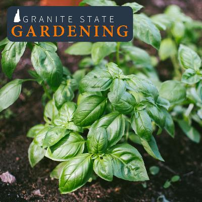 Indoor Herb Gardens Over Winter, Old Seeds, Safe Ice Removal and Borage