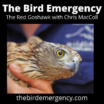 040 The Red Goshawk with Chris MacColl