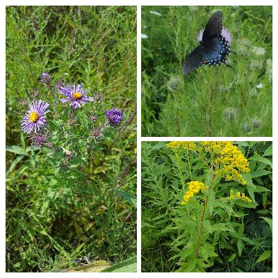 Episode 16: The importance of planting fall native nectar plants