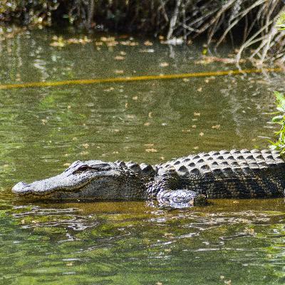 Episode 217: Hunting Alligators - The Food that Bites Back