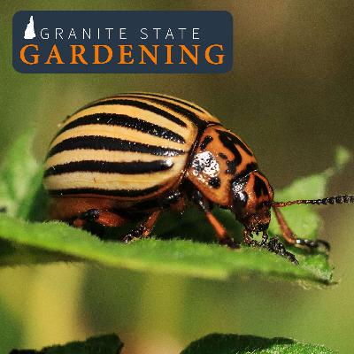 Managing Insect Pests in the Vegetable Garden, Ground Cherries and Choosing Your Battles