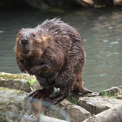 Leave it to beavers, seriously