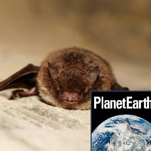 Bat calls, weather balloons, telomeres and ageing - Planet Earth Podcast - 12.11.27