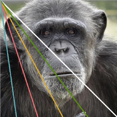 What happens to chimpanzee TV advert stars when the lights go down?