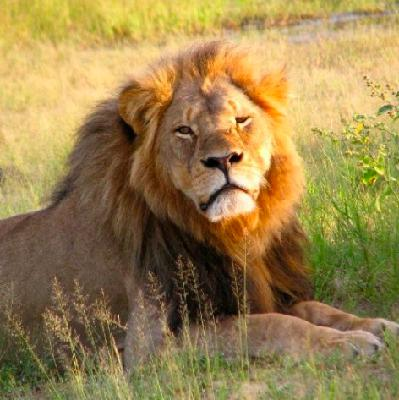 Does trophy hunting support or hurt conservation? Five years after Cecil the Lion was killed, debate continues