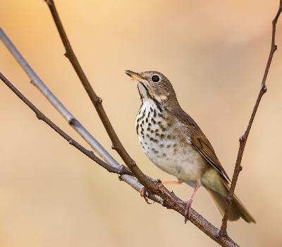 Episode 7: Reverence for the Hermit Thrush, but None for the Pewee