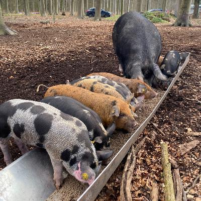 #41: Op bezoek bij de buitengewone varkens van Josse Haarhuis