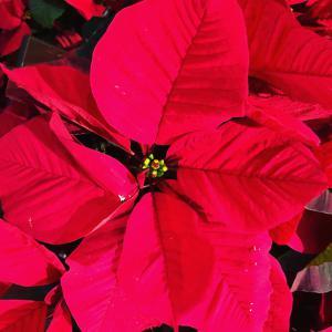 #12 Flor de Nochebuena.