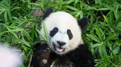 Bye Bye, Bei Bei: Giant Panda Heads to China