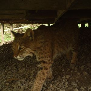 Nature Notes Episode 4: Bobcats