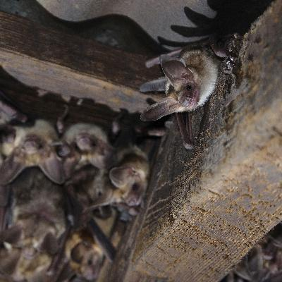 Bats: Busting the myths