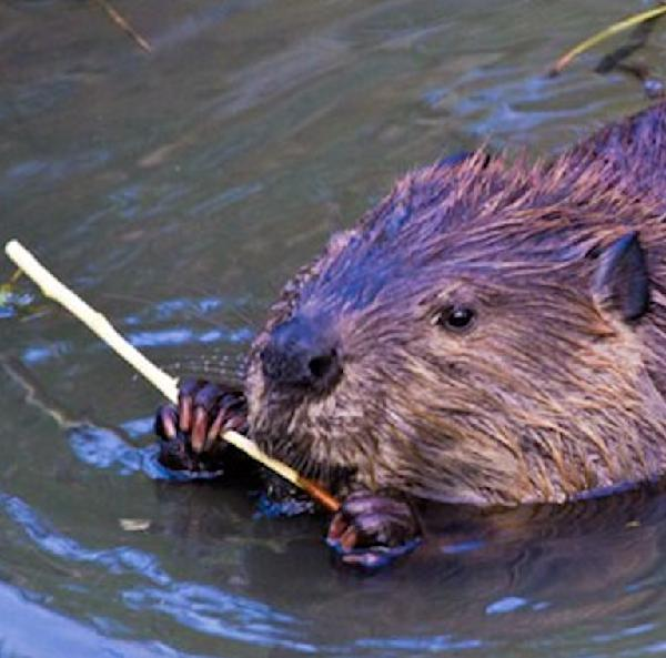 Beavers, our brilliant ecosystem builders