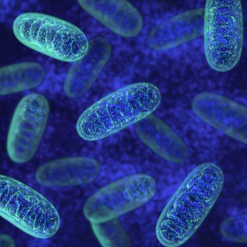 2. La Mitochondrie Une Bactérie Ancestrale dans Vos Cellules !