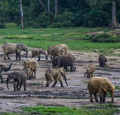 Rumbles in the jungle: Listening to elephants to conserve rainforests