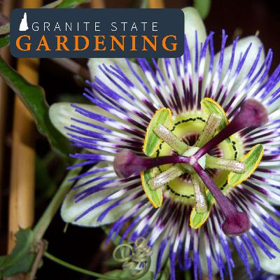 Growing Fruits Inside, Neem Oil, Passionflower and Broken Limbs