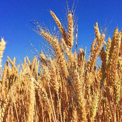 Brasil cresce o consumo de trigo, mas crescerá também o preço do alimento