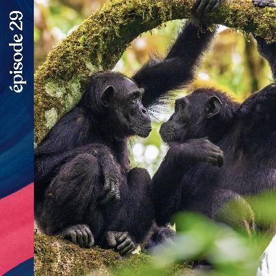 #29 — Les chimpanzés des Monts de la Lune, avec Sabrina Krief