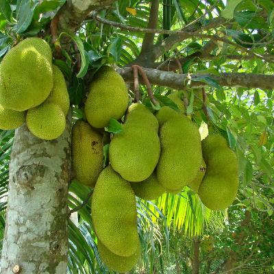 Jackfruit - the big tasting fruit with an exciting future: episode 2