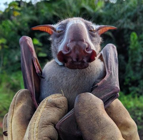 Bats and Ebola: studying fruit bats to prevent future outbreaks