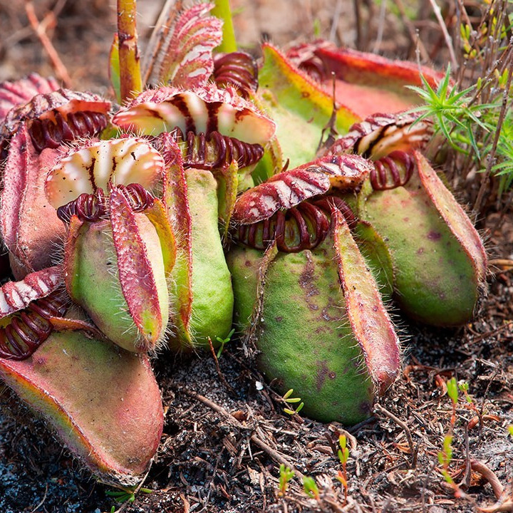 Ep. 7 - Carnivorous Plants: A tale of the Albany Pitcher Plant