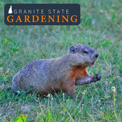 Dealing with Nuisance Wildlife, Growing Garlic, Inkberry & Tree Guards