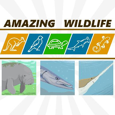 Manatee | Great Barracuda | Sawfish