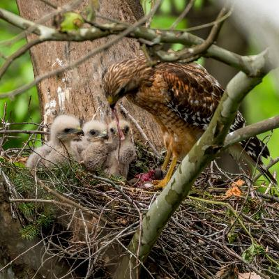 Discover A Red-Shouldered Hawk Family