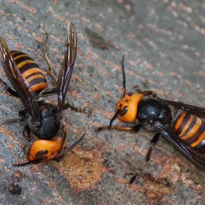 Asian Giant Hornet - Murder Hornet