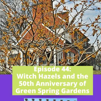 Episode 44 - Witch Hazels and Green Spring Gardens 50th Anniversary
