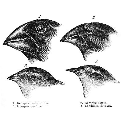 S3.01 - Investigating the icons of evolution, from Darwin's Finches to the March of Progress