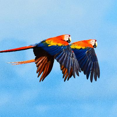 The Flight of the Scarlet Macaw