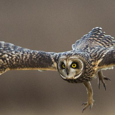 Owls: Nature's hunting machine