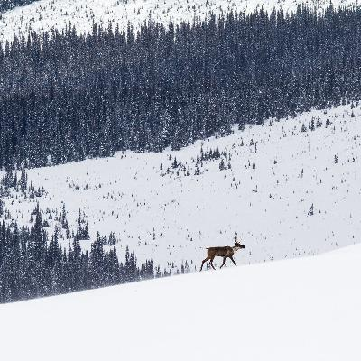 Saving the mountain caribou