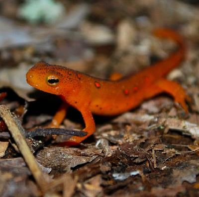 Mongabay Explores the Great Salamander Pandemic, Part 1: Are we ready?