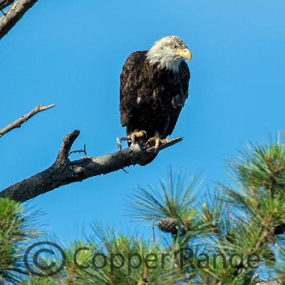 News From the Blog: The Extraordinary Bald Eagle - See What You Know