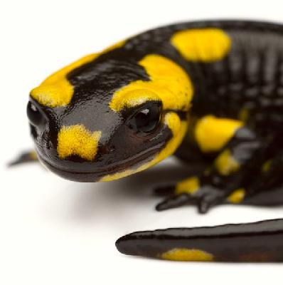 Mongabay Explores the Great Salamander Pandemic, Part 4: The 'Bsal battalion'