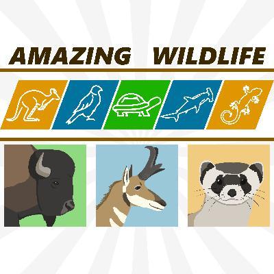 Bison | Pronghorn | Black-Footed Ferret