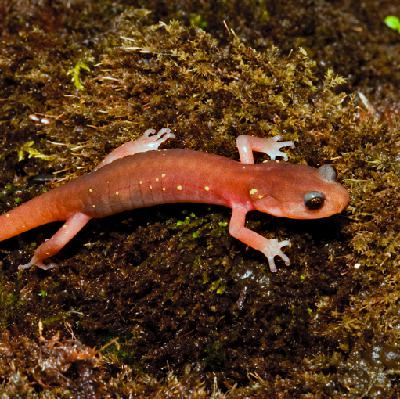 Mongabay Explores the Great Salamander Pandemic, Part 2: Great diversity and danger