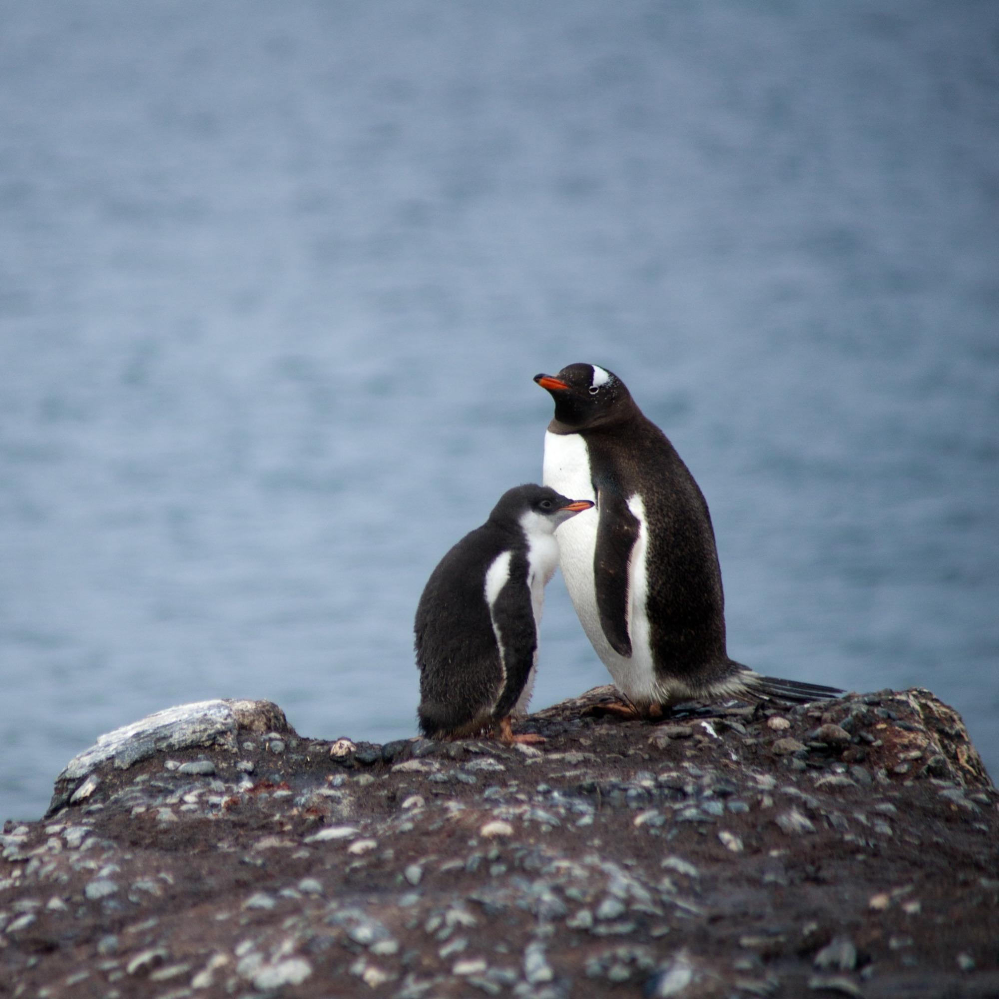 O Dia do Pinguim da Microsoft - DioCast