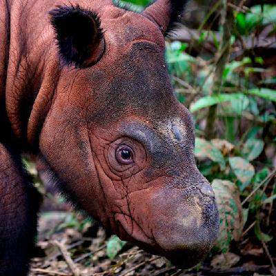 Mongabay Explores Sumatra: Saving the singing rhino